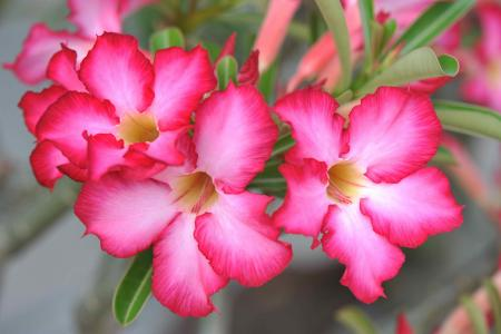 desert-rose-poisoning.jpg