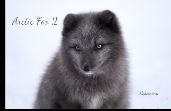 Arctic Fox 2.png