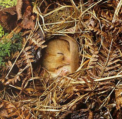 dormouse_asleep.jpg