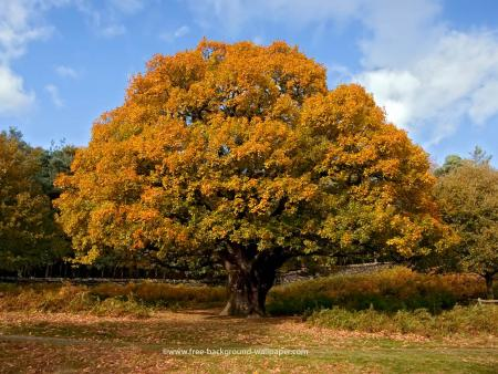 autumn-oak-tree.jpg